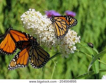 Three Monarch butterflies on a white flower in garden on bank of the Lake Ontario in Toronto Canada September 12 2017