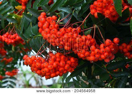 Ripe red Rowan berries still on a Rowan tree.