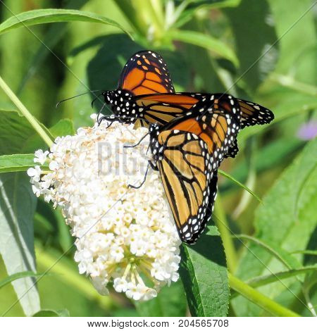 Two Monarch butterflies and white flower in garden on bank of the Lake Ontario in Toronto Canada