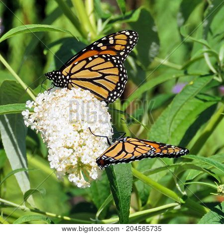 Two Monarch butterflies on the white flower in garden on bank of the Lake Ontario in Toronto Canada September 12 2017