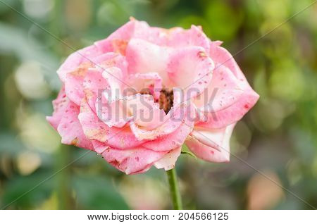 Red rose flower blossom in a garden,decoration flowers