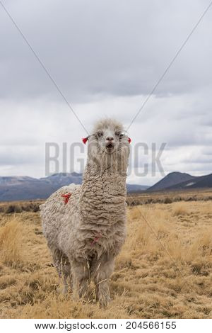Very emotional surprised llama with open mouth. Altiplano Bolivia South America