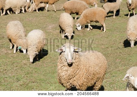 Herd of sheep in a field and meadow