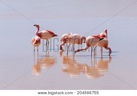 Flamingo on the lake wildlife of Altiplano Bolivia South America