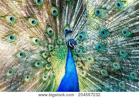Peacock feathers mating is a male peacock spreading its plumes and feathers in a full on mating dance.