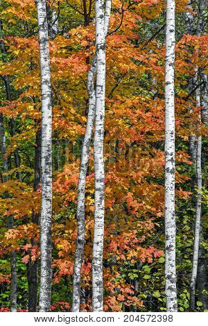 Colorful autumn foliage is punctuated by brilliant white birch tree trunks in the woods of northern Wisconsin.