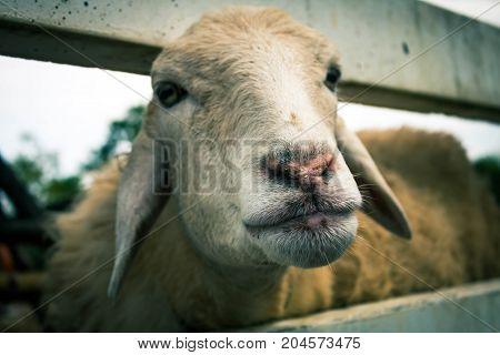 Sheep in nature. Farming sheep close up.