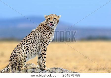 African Cheetah, Masai Mara National Park, Kenya, Africa