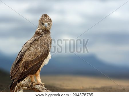 Tawny Eagle (aquila Rapax) Sitting On A Branch Tree, Africa, Kenya