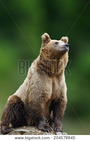 Big Brown Bear In The Nature Habitat. Wildlife Scene From Nature