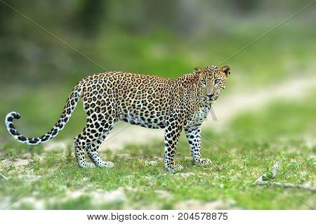 Walking Sri Lankan Leopard, Big Spotted Wild Cat Lying In The Nature Habitat, Yala National Park, Sr