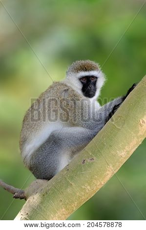 Vervet Monkey Sitting On Branch, Nature Habitat, Sri Lanka