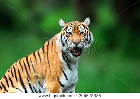 Summer With Tiger. Siberian Tiger In Beautiful Habitat