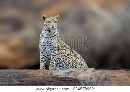 African Leopard, National Park Of Kenya