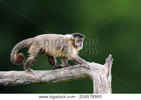 Capuchin, Monkey Sitting On The Tree Branch In The Dark Tropic Forest