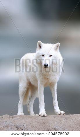 Arctic Wolves In The Winter