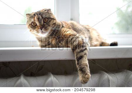 Scottish fold cat the cat lies on the windowsill dangling his paw.