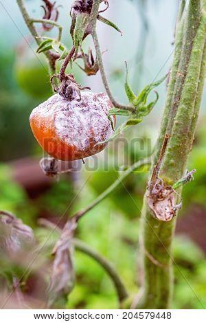 Grey mold botrytis on tomato. Close up.