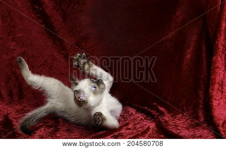 A mostly white siamese colored kitten seems to be falling or rolling as he looks up at empty copy-space above. He is on a crushed red velvet background.
