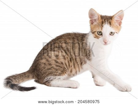 Kitten With Striped Hair Isolated On White Background