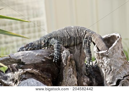 the lace lizard is laying in the sun trying to get warm