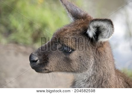 this is a close up of a kangaroo-Island kangaroos