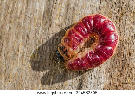 Cherry red caterpillar butterfly carpenter odorous Cossus cossus, curled into a ring on a wooden board, closeup, macro, top view