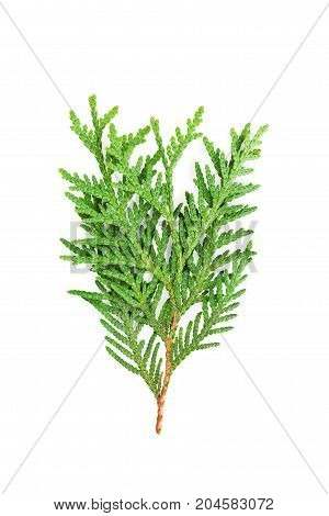 Young sprout of green thuja or arborvitae isolated on white background.