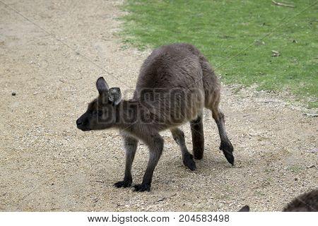 the joey kangaroo-Island kangaroo is alert looking for danger