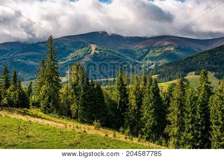 Spruce Trees On Hillside On Cloudy Day