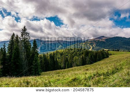 Spruce Forest On Hillside On Cloudy Day