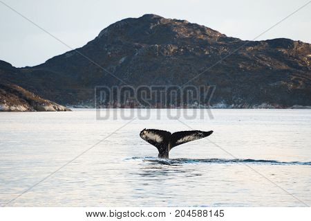 Humpback whale tail Atlantic ocean western Greenland