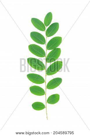 green leaf isolated on white background Moringa leaves