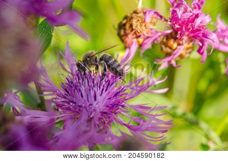 Hardworking bee collects sweet nectar from a field flower