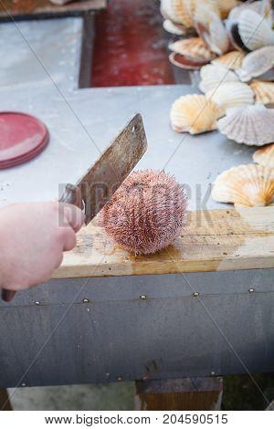 sea urchin cut in half lying on wood cutting board prepared to be cut. outside shot in Norway. copy space.