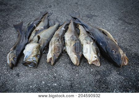 freshly caught Norwegian fishes. outdoor shot in Norway. copy space.