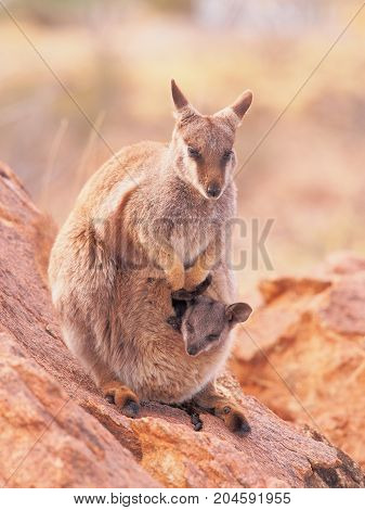 Female Rock Wallaby Petrogale with a cub watching out on a rocky outcrop in the outback near Alice Springs Australia 2017