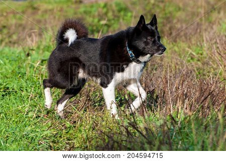 Dog hunting tracking game. Husky stiffened upon seeing prey. Hunting with dogs in the North and in Europe. The Russian-European Laika.