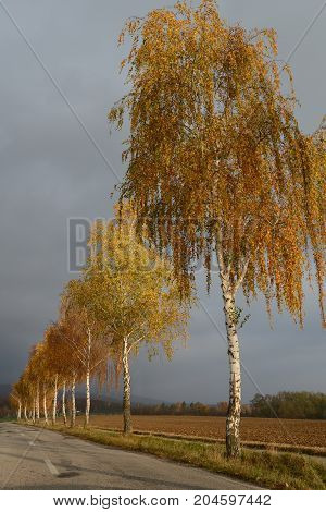 Golden birches in the fall by the road with overcast sky