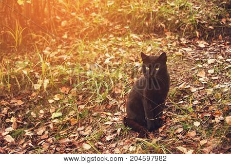 Beautiful graceful black cat with yellow eyes sitting on yellow leaves in autumn. Toned. The horizontal frame.