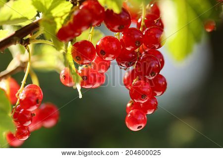 red currant in the morning light on a blurred green background. Red currant harvest season