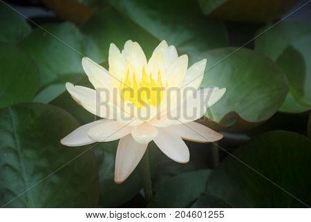 Soft blur yellow lotus flower in pond
