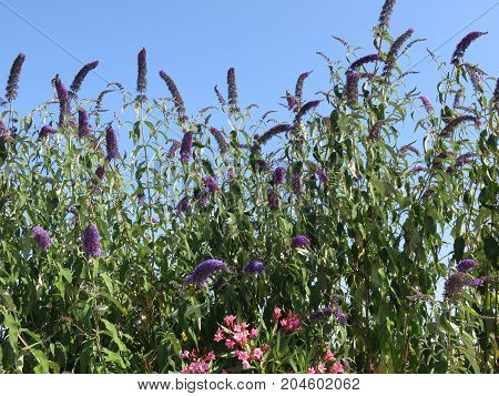 Buddleja is a kind of shrub that makes small flowers and are joined to each other and are collected in long blooming corns