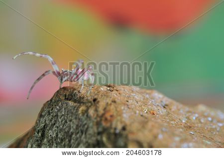 Close-up Of Pink Spider On Stone, Macro Theme