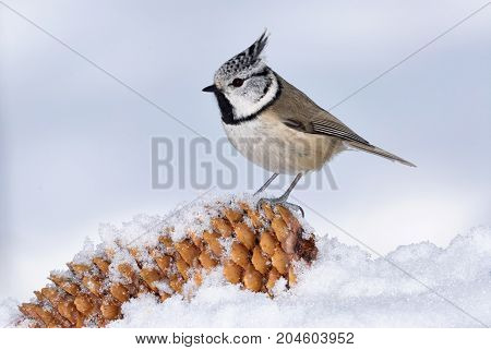 Beautiful european crested tit photographed in winter in a snowy environment