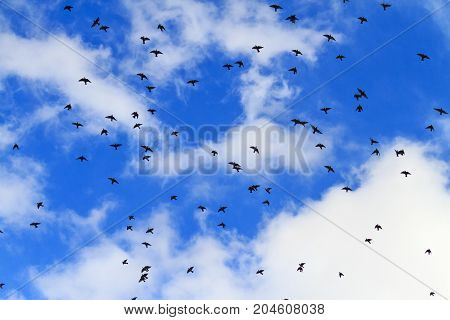 starlings fly in the autumn sky , wildlife, unique frames