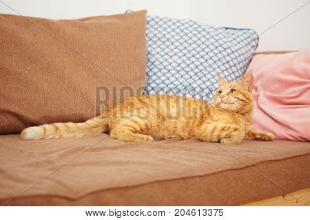 Red cat with impudent look lies on sofa with pillows. Ginger striped feline looking away, smart home pet going to sleep