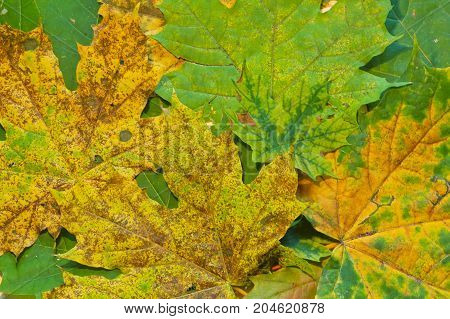Green yellow and brown maple leaves texture