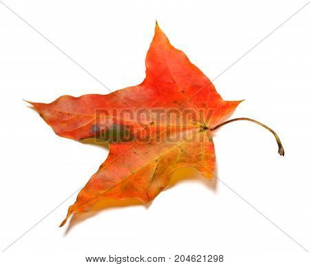 Red Autumnal Maple Leaf