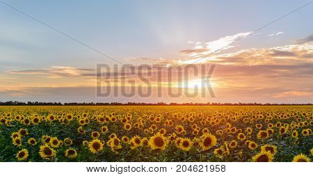 Beautiful sunset over a field with podsolnuzami